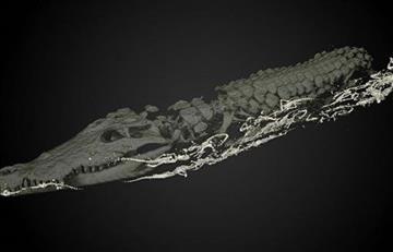 Momia de cocodrilo escondía en su vientre 47 crías