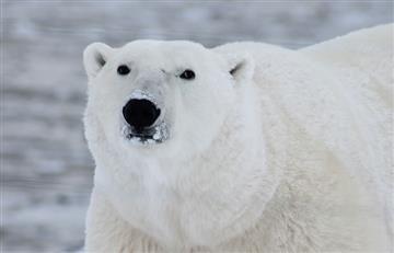 Ártico: Un tercio de Osos polares desaparecerán