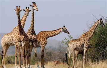 Jirafas al borde de la extinción