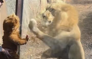 YouTube: León reacciona ante bebé disfrazado de felino