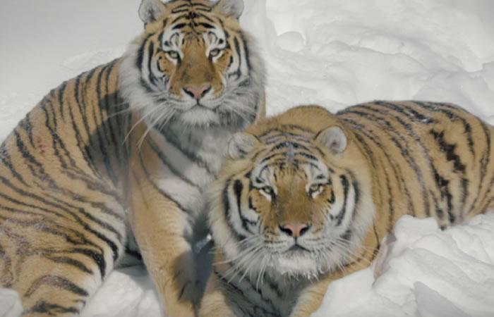 Tigres en medio de la nieve. Foto:Youtube