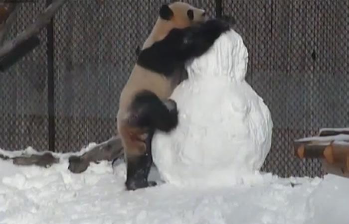 Panda y su batalla con un muñeco de nieve. Foto:Facebook