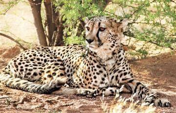 El guepardo está muy cerca de su extinción