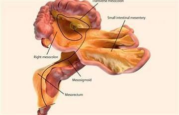 Descubren un nuevo órgano en el cuerpo humano