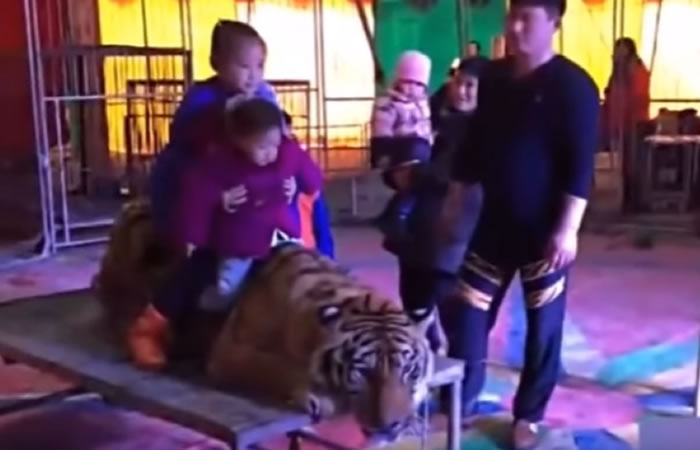 Tigre es sometido a terrible maltrato. Foto: Youtube