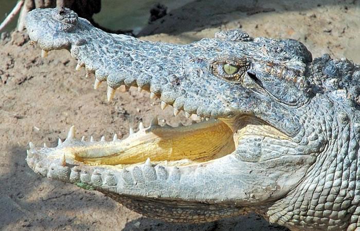 Estados Unidos: Captan enorme cocodrilo paseando en Florida