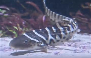 Tiburón Leopardo se convierte en el primer animal en reproducirse solo