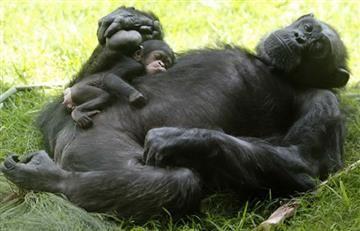 Primates al borde de la extinción, científicos preocupados