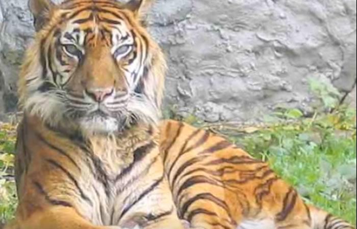 Tigre Caspio: Científicos 'resucitarán' animal extinto