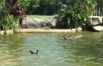 Facebook: Pato desafía a un tigre sin temor alguno