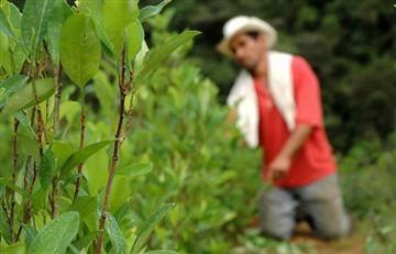 Diálogos de paz: Se erradicarán 50.000 hectáreas de hoja de coca