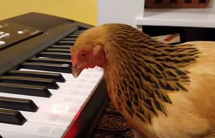 YouTube: Pollo músico se toma la red