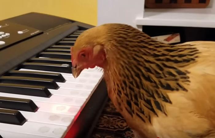 Pollo músico. Foto:Youtube