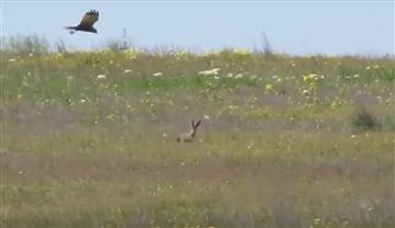 Video: Sorprendente lucha de un conejo contra un halcón