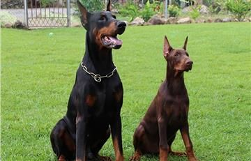 Código de Policía: Exige conseguir pólizas para perros