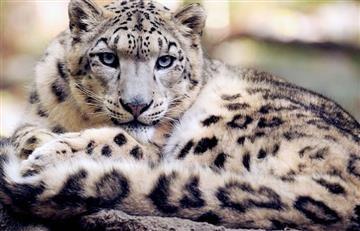 Leopardo de nieve: Graban su rugido por primera vez