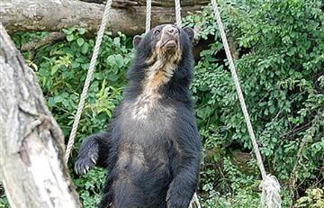 Huila: Reaparece oso de anteojos después de 15 años