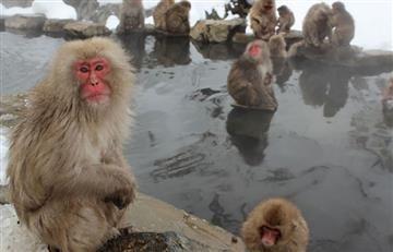 Japón: Sacrifican 57 monos por tener 'genes no puros'