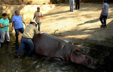 El Salvador: Hipopótamo muere tras brutal golpiza