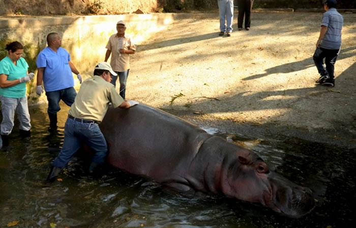 Hipopótamo. Foto: EFE