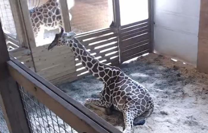 YouTube: Polémica por transmitir en vivo parto de jirafa
