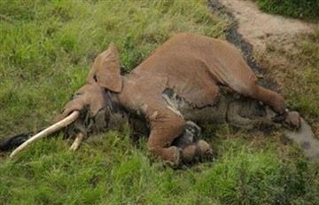 África: Matan a uno de los elefantes más emblemáticos del mundo