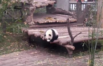 YouTube: Panda conquista las redes por divertida actuación