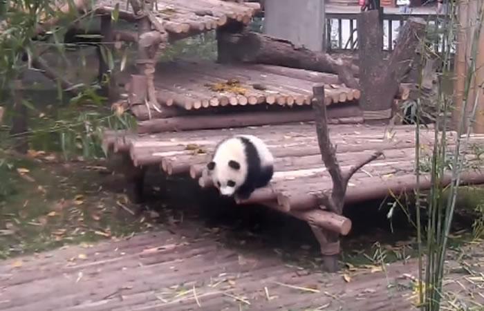 Tierno panda. Foto: Youtube