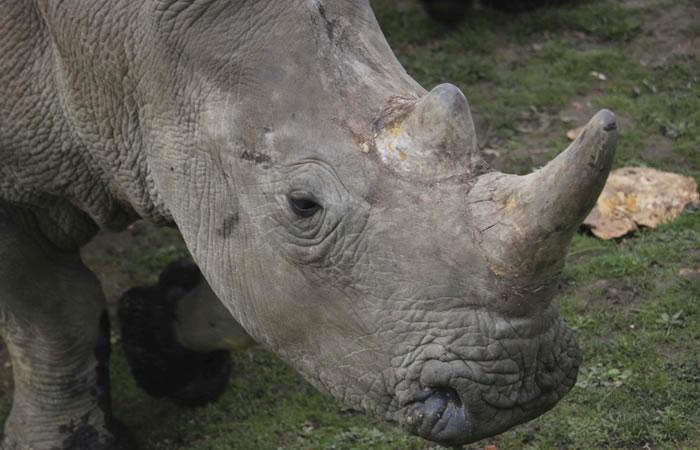 Francia: Cazadores matan a rinoceronte en un zoo para obtener su cuerno