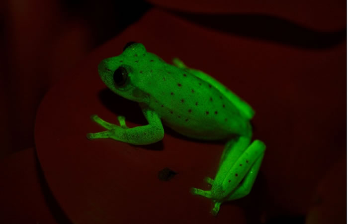 Argentina: Descubren la primera rana luminiscente del mundo