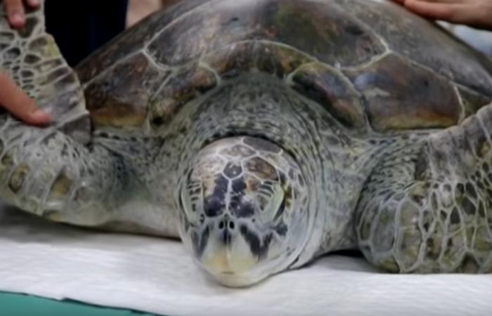 Tailandia: Muere la tortuga a la que sacaron 915 monedas del estómago