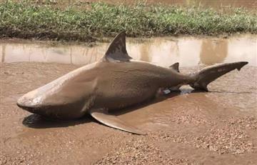 Australia: Hallan tiburón muy lejos del mar tras fuerte huracán