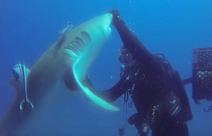 Tiburón limón. Foto:Youtube