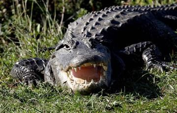Viral: Caimán sorprende en campo de golf con sus 16 crías