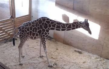 Viral: Parto de jirafa fue vista por más de un millón de personas en internet