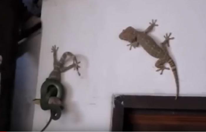 Valiente lagarto intenta ayudar a su compañero. Foto:Youtube