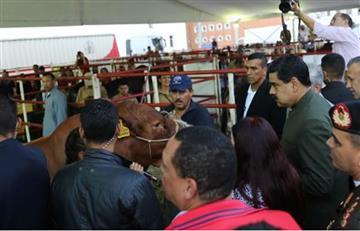 Maduro pidió a unas vacas que lo apoyen en la Constituyente