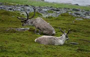 Noruega sacrificará 2 mil renos para impedir contagio de una enfermedad