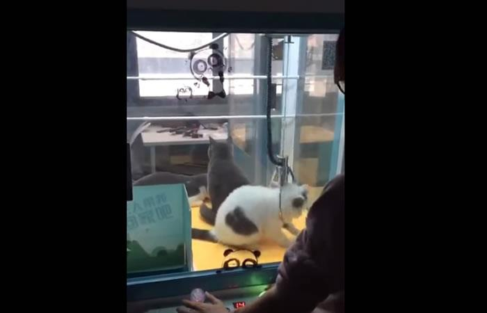Video: China utiliza gatos vivos en máquina de peluches