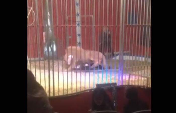 León ataca a su domador. Foto: Facebook