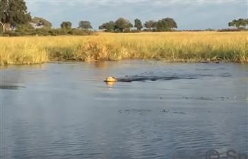 El brutal enfrentamiento entre un león y un cocodrilo para salvar a su hermano menor