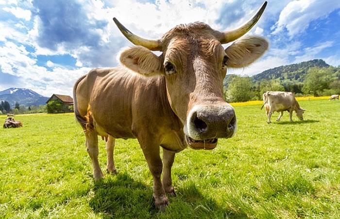 India: Nace vaca con cara humana y creen que es Dios