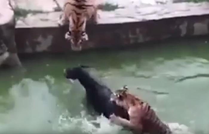 China: Lanzan en zoológico a un burro vivo para alimentar a dos tigres