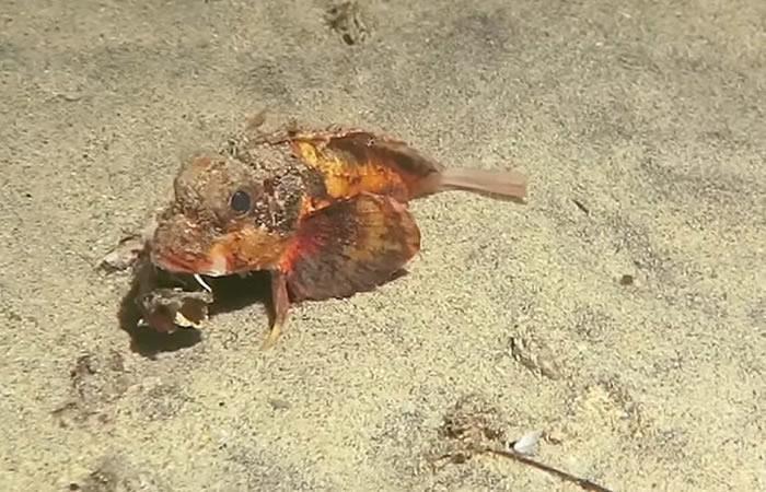 Indonesia: Científicos descubren lo que sería un 'pez con patas'