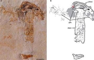 Hallan el fósil de una seta de 115 millones de años, el más viejo en la historia