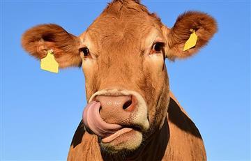 Millones de estadounidenses piensan que la leche chocolatada sale de las vacas cafés