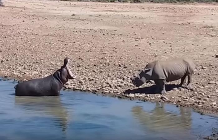 YouTube: Hipopótamo mata a rinoceronte tras fuerte batalla territorial