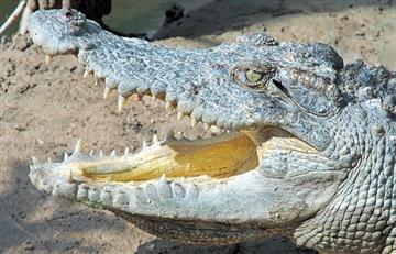 Australia: Intentó tener sexo con un cocodrilo y terminó en sus garras
