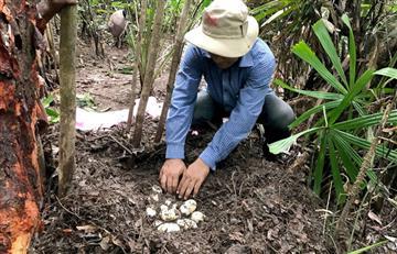Camboya: Hallan huevos de cocodrilo en extinción
