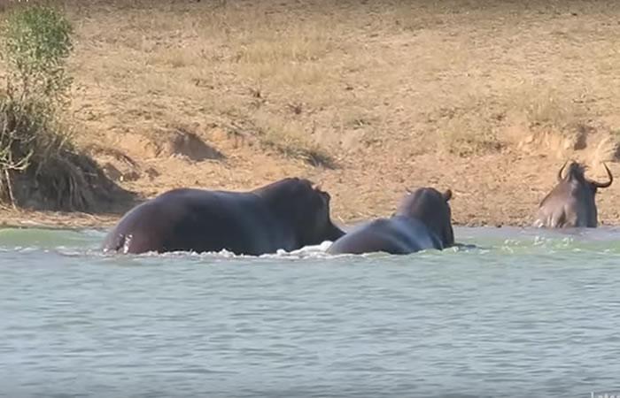 Viral: Hipopótamos unen todas sus fuerzas para combatir a un cocodrilo